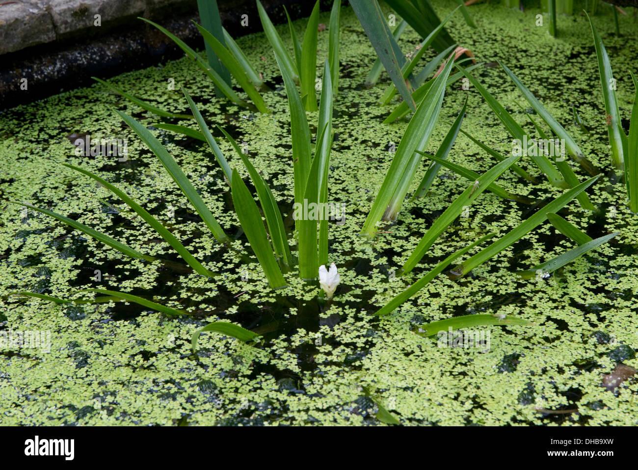 Soldado, Stratiotes aloides de agua, plantas floweing con menor lenteja de agua y estanque ornamental Imagen De Stock