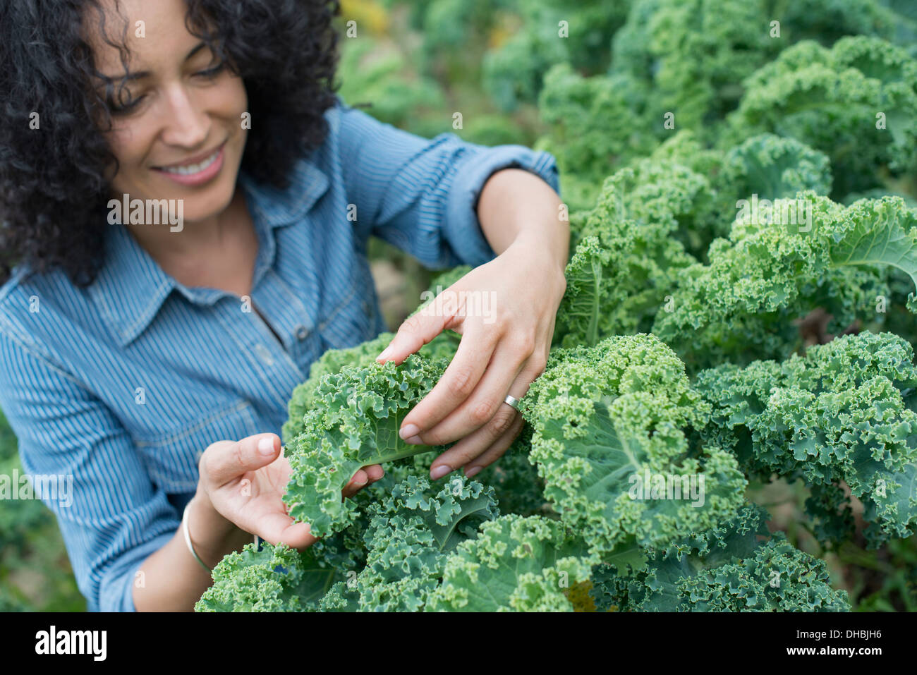 Una granja orgánica de hortalizas. Una mujer que trabaja entre la nitidez de la col rizada de cosecha. Imagen De Stock