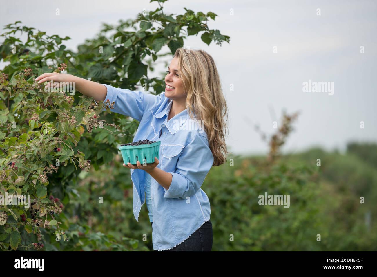 Una mujer hasta llegar a recoger las bayas de un arbusto de Blackberry en una granja de frutas orgánicas. Imagen De Stock