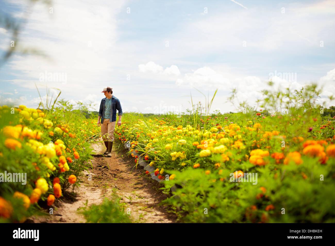Un agricultor trabajando en sus campos en el Estado de Nueva York. Amarillo y naranja de cultivo de flores cultivadas orgánicamente. Imagen De Stock