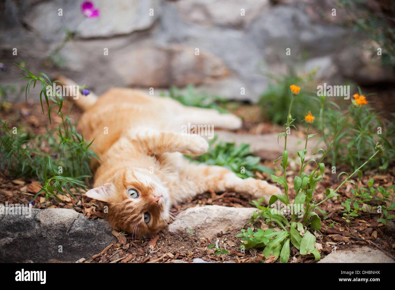 Gato atigrado naranja tumbado en el jardín Foto de stock