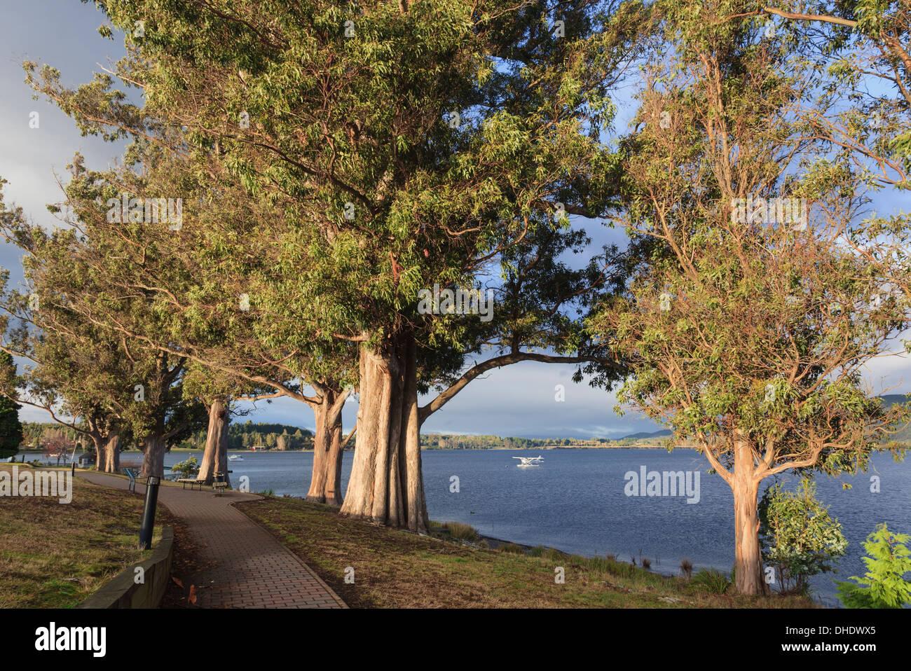 Árboles de eucalipto y lakeside senda en la orilla junto al Lago Te Anau, Southland, Isla del Sur, Nueva Zelanda Imagen De Stock