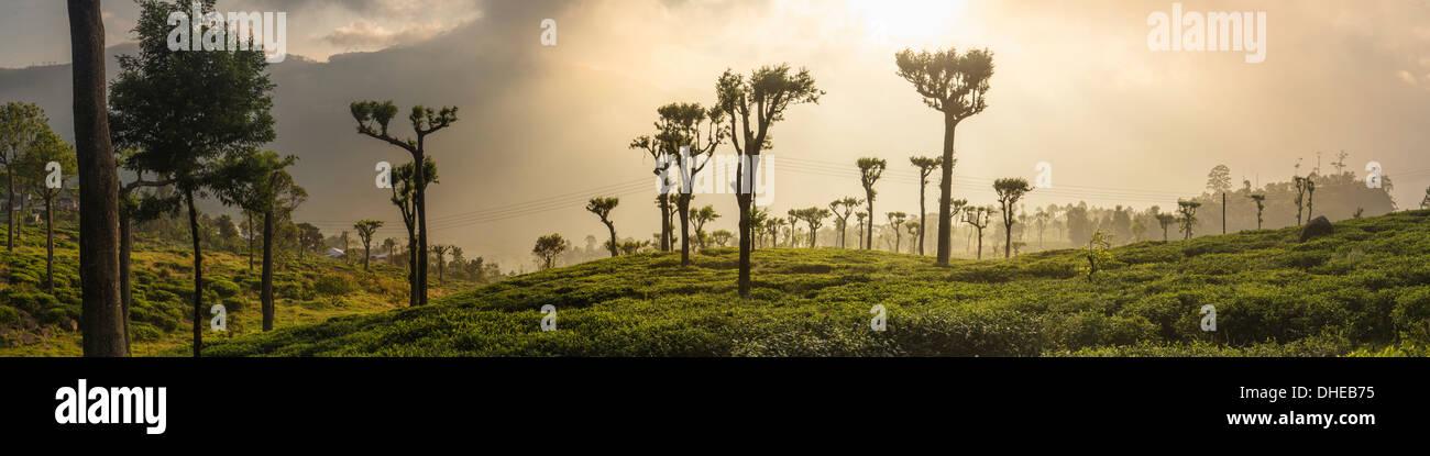 Amanecer sobre plantaciones de té, Haputale, Sri Lanka Hill Country, Sri Lanka, Asia Imagen De Stock