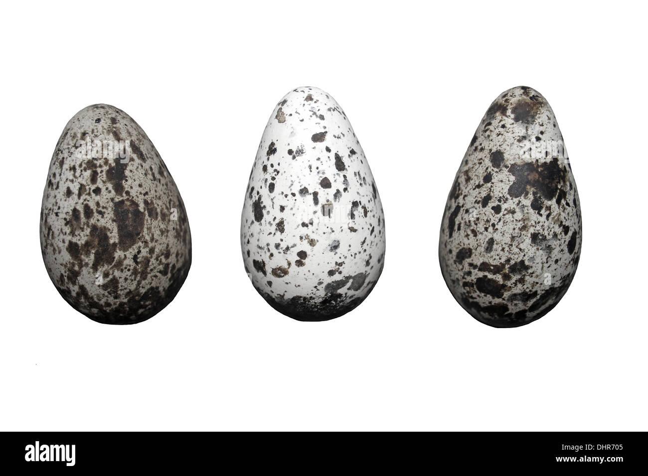El Arao Común Uria aalge tres huevos que muestra la variación de patrones Imagen De Stock