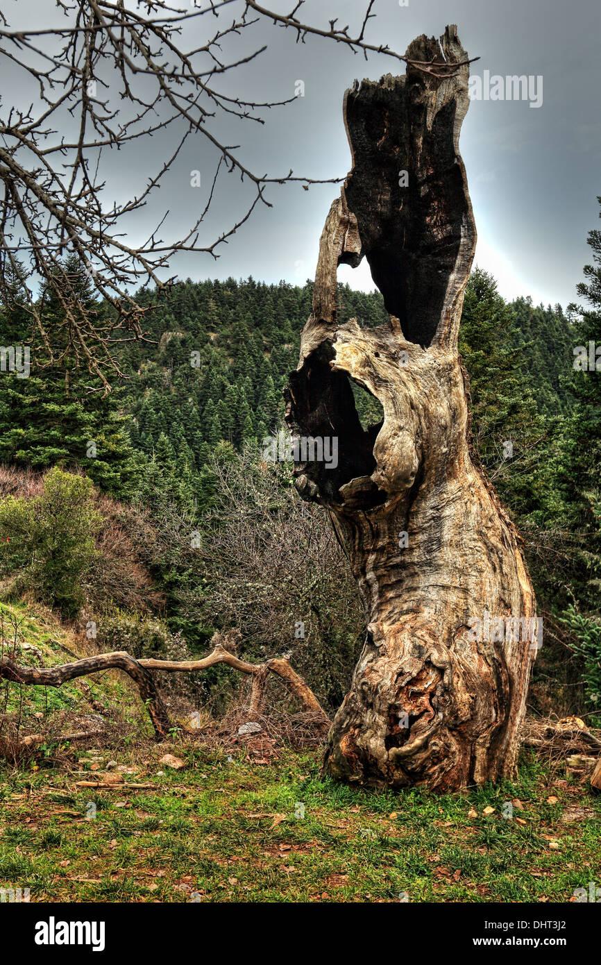 Un viejo tronco de árbol cerca de Elati en Arcadia, el Peloponeso, Grecia. Imagen De Stock