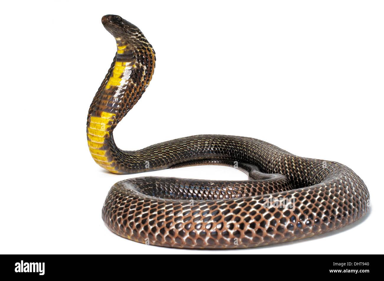 Cobra pakistaní en negro sobre fondo blanco. Imagen De Stock