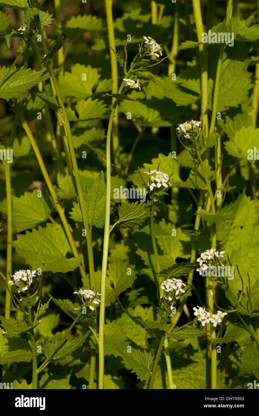 La medicina de hierbas naturales (Alliaria petiolata) como fondo Foto de stock