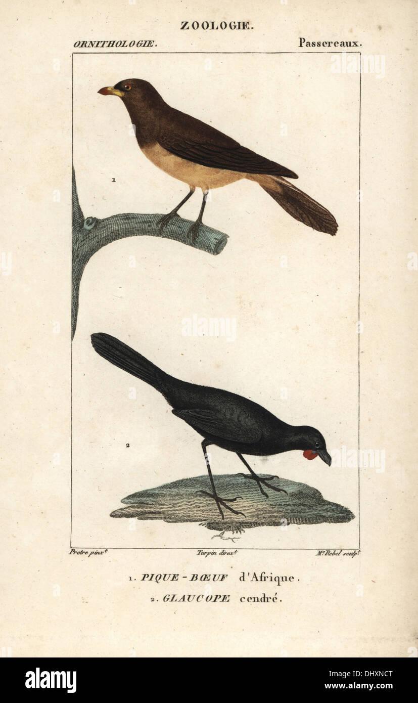 Amarillo-facturados oxpecker, Buphagus africanus, y naranja-wattled, kokako Callaeas cinerea cinerea (extinto). Foto de stock