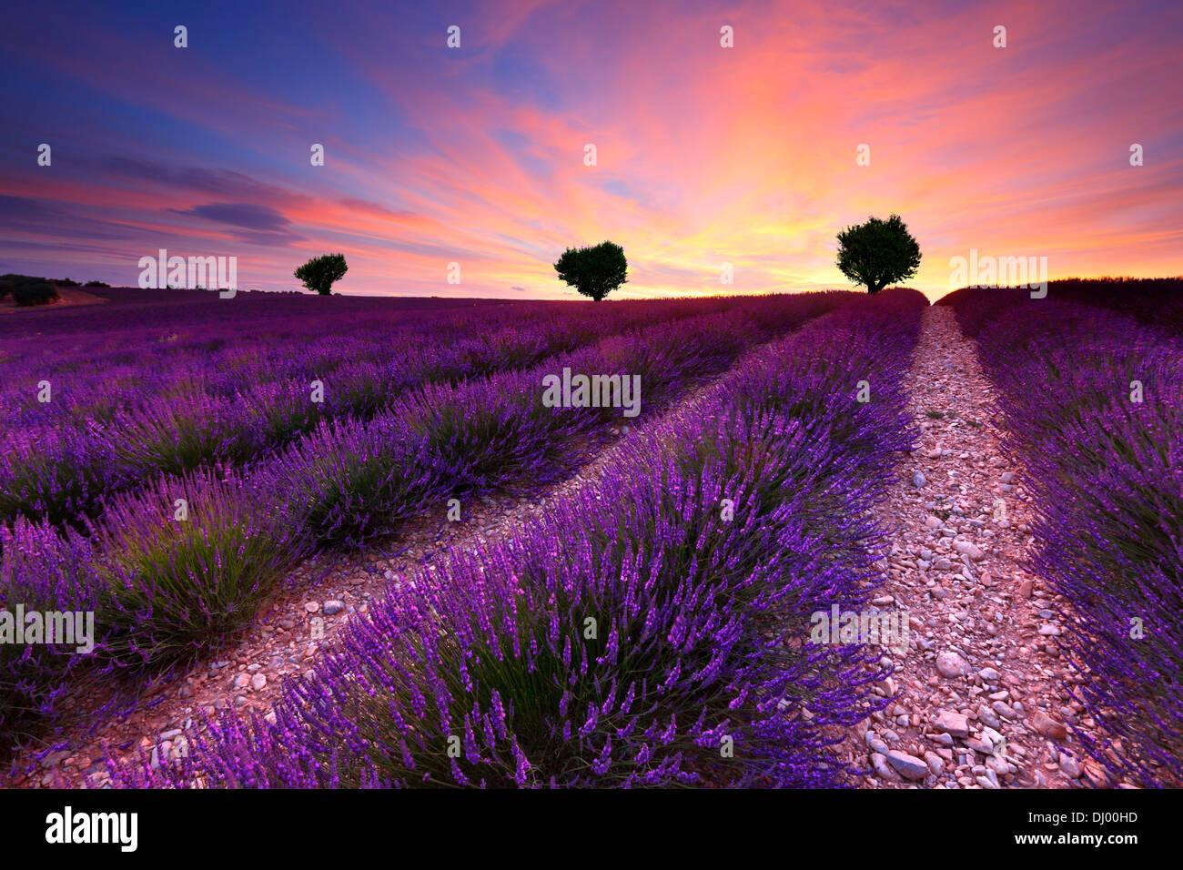 Tres en la colina en el campo de lavanda al atardecer. Francia Provenza. Imagen De Stock