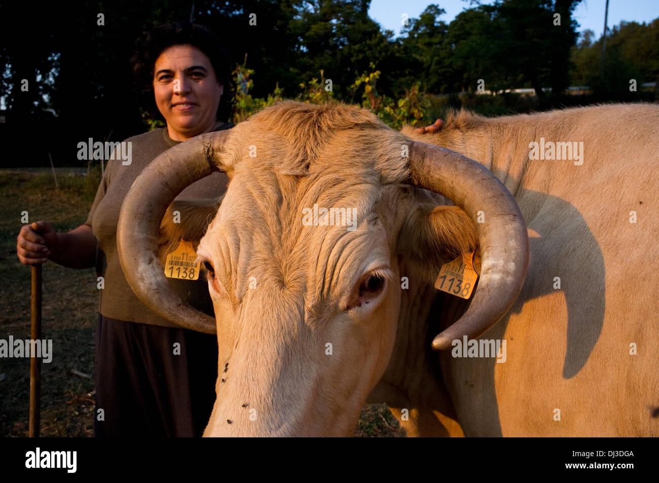 Las vacas en Galicia, España. La vaca granja gallega española Foto de stock
