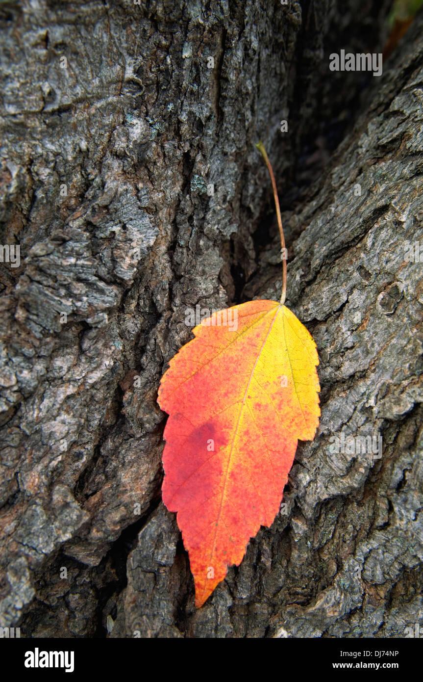 Hoja de arce rojo sobre el tronco del árbol con colores del otoño Imagen De Stock