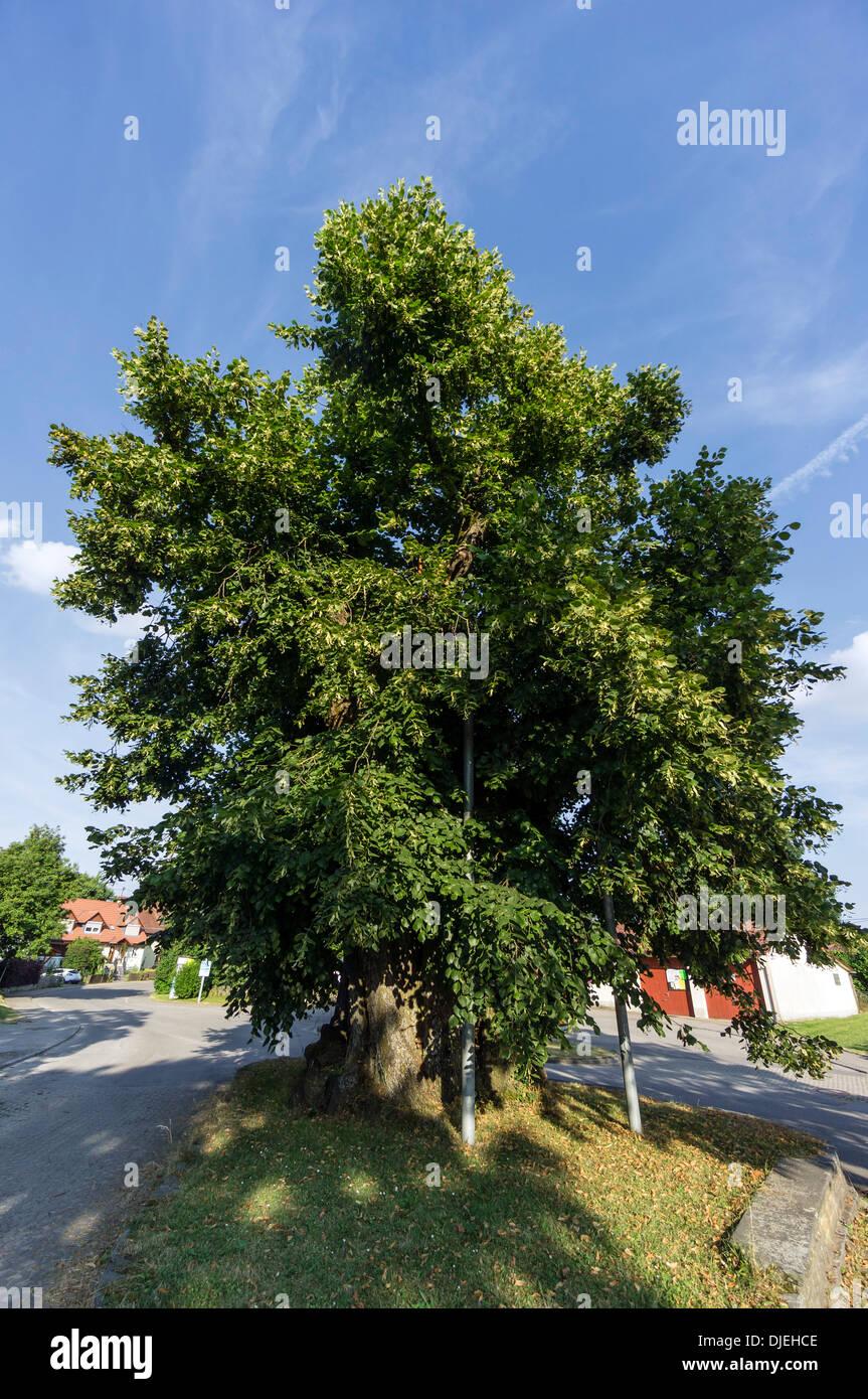Más de 500 años de antigüedad en el Lime Tree Hohenbodman, Baden Wuertemberg, Alemania Foto de stock