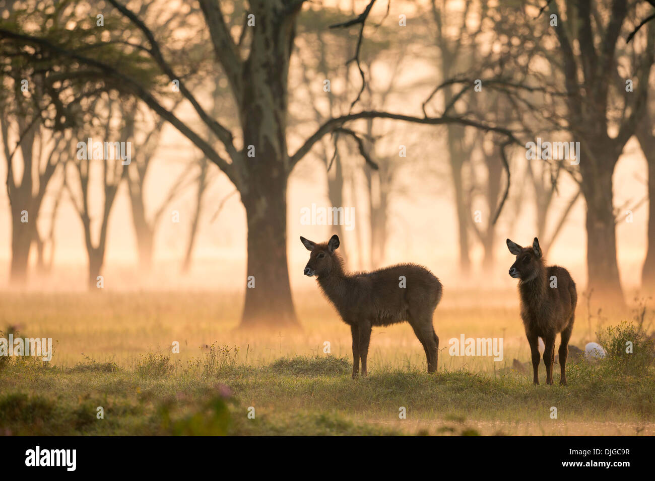 Dos jóvenes Antelope (Kobus ellipsiprymnus)al amanecer .Parque Nacional lago Nakuru.Kenya Imagen De Stock