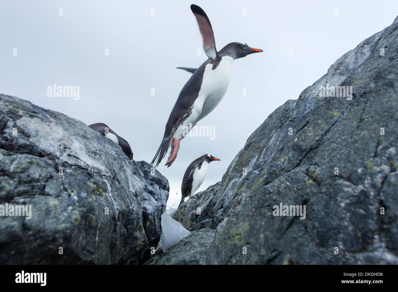 La Antártida, Isla Cuverville, pingüinos papúa (Pygoscelis papua) saltando del agua en costa rocosa Imagen De Stock