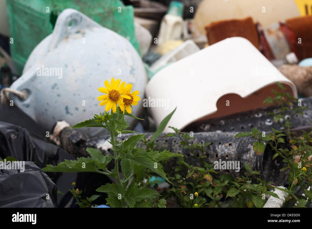 Dos derechos introducciones a una remota isla del Pacífico Norte: las especies invasoras Golden Crownbeard (Verbesina encelioides) de plástico y desechos marinos. Foto de stock