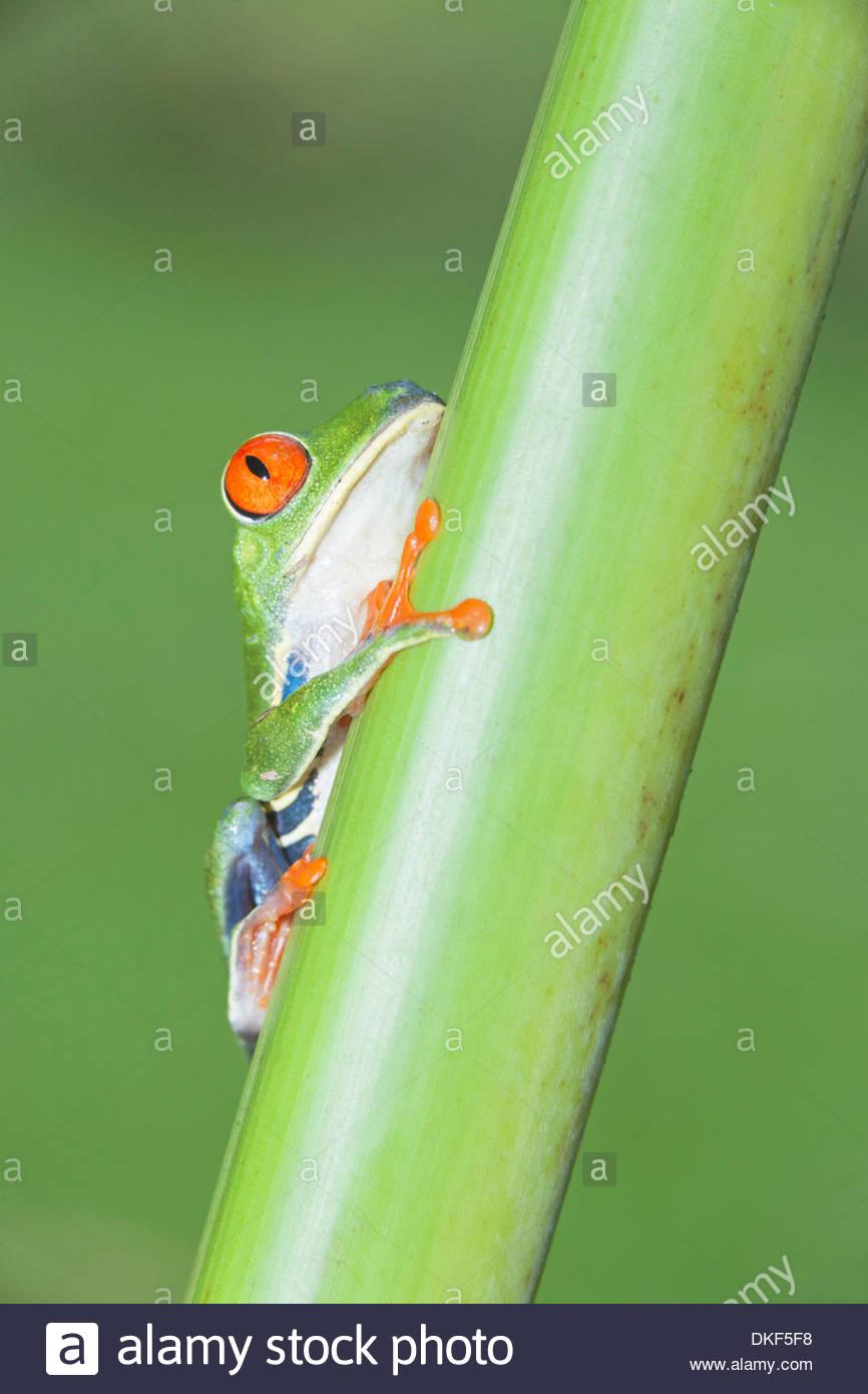 La rana arborícola de ojos rojos (Agalychnis callidryas) sobre el vástago, Costa Rica Foto de stock