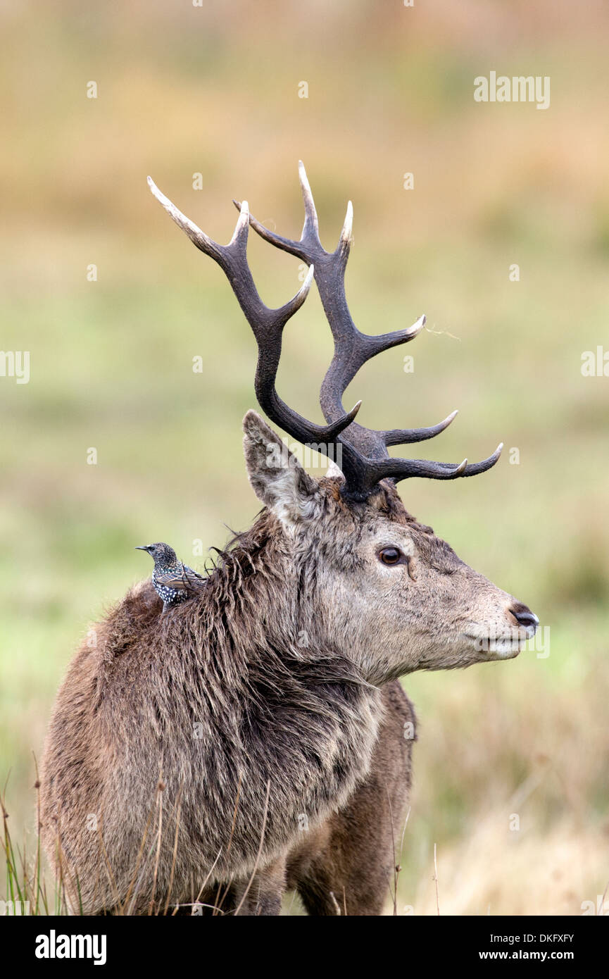 Ciervo rojo (Cervus elaphus), Scotland, Reino Unido Foto de stock