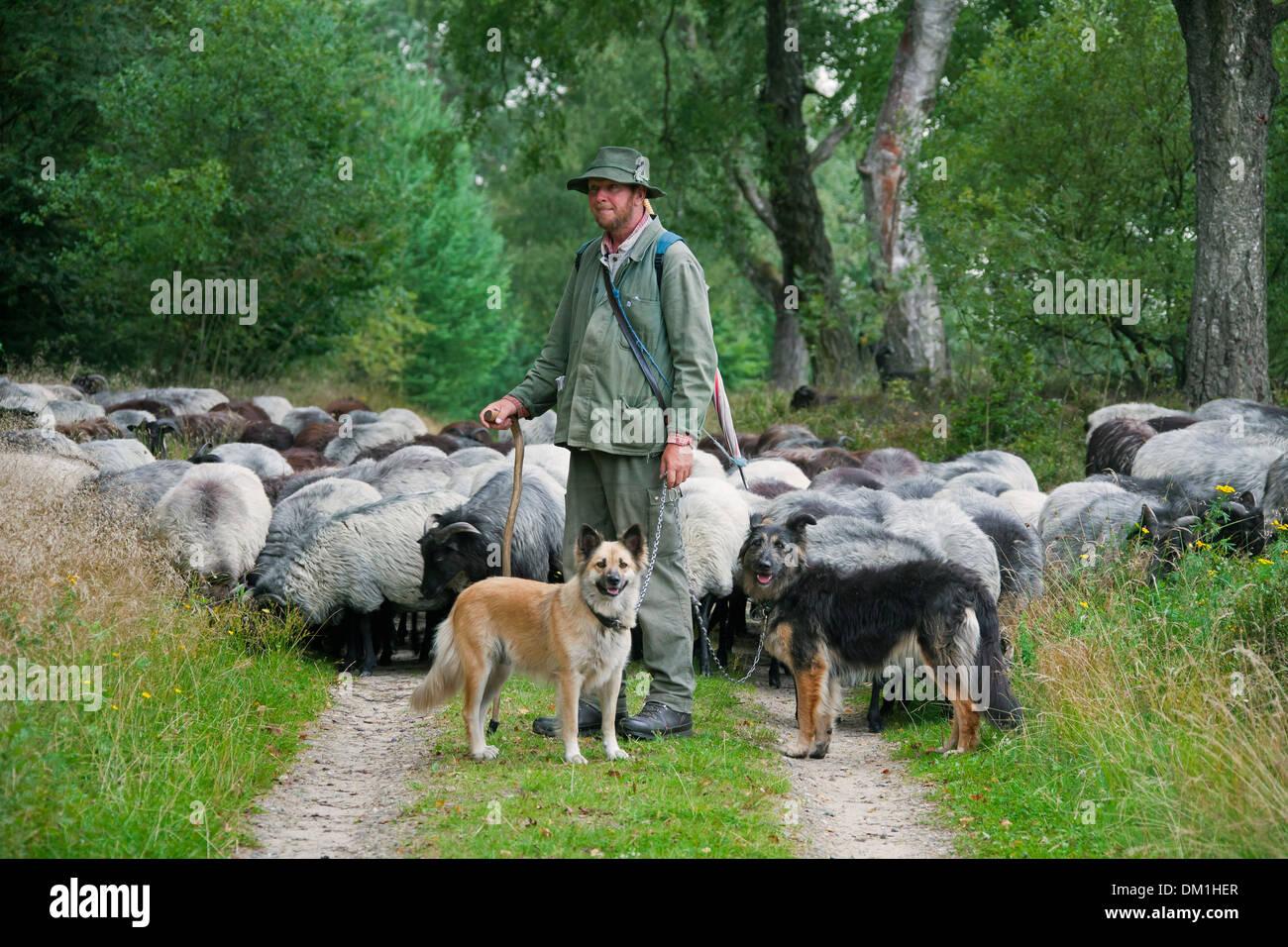 Pastor con perros de pastor pastoreando ovejas de Heidschnucke, raza de ovejas de páramos en Lüneburg Heath / Lunenburg brezales, Alemania Foto de stock