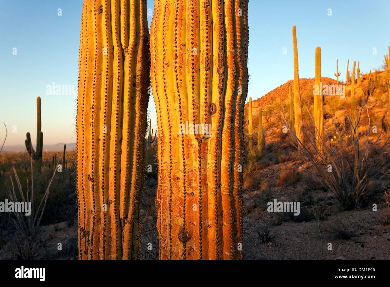 Cactus gigante saguaro (Carnegiea gigantea), el Parque Nacional de Saguaro, West, unidad de Tucson, Arizona. Imagen De Stock