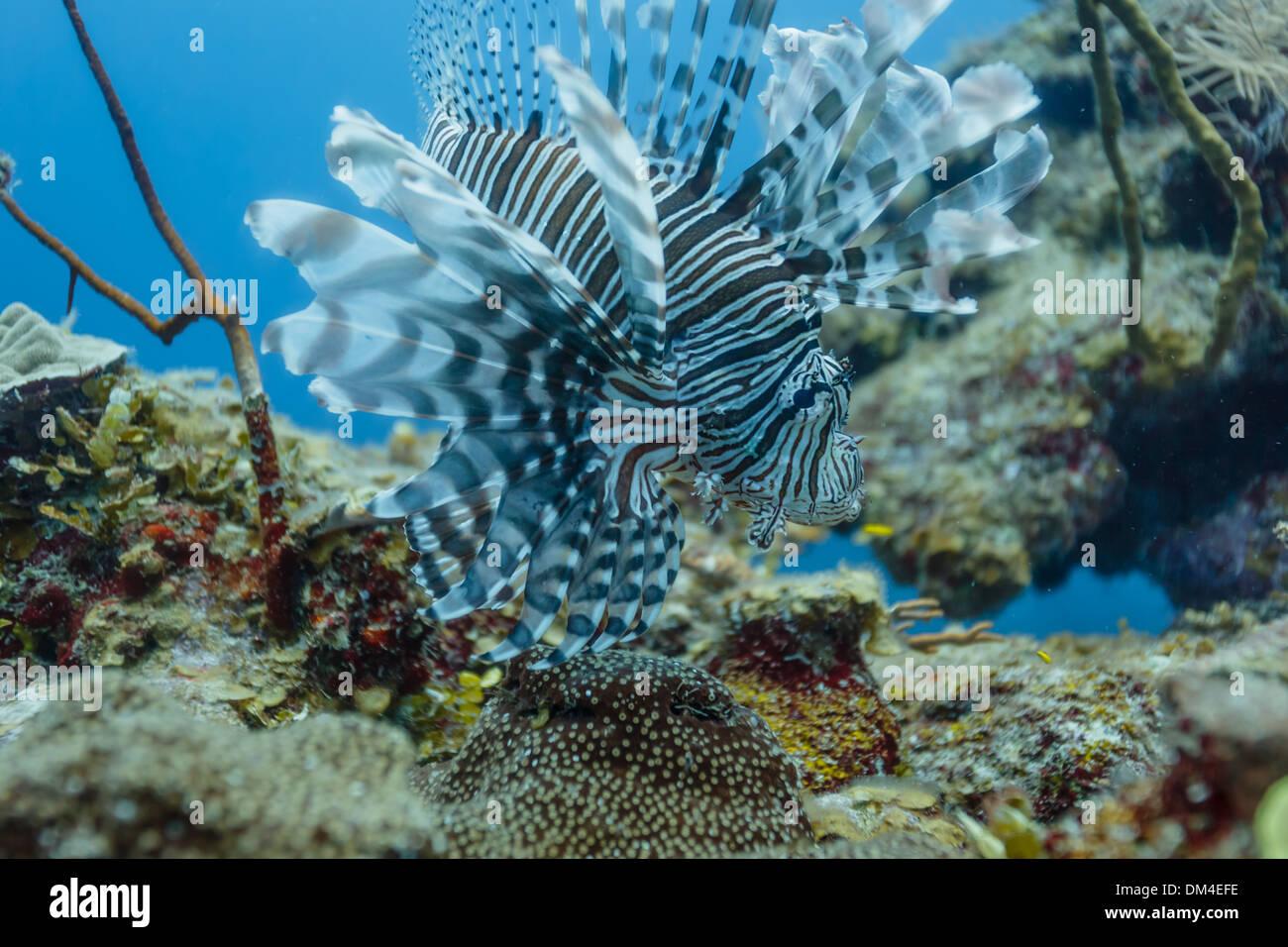 Pez león muestra la gama completa de tentáculos sobre arrecifes de coral en Belice Foto de stock