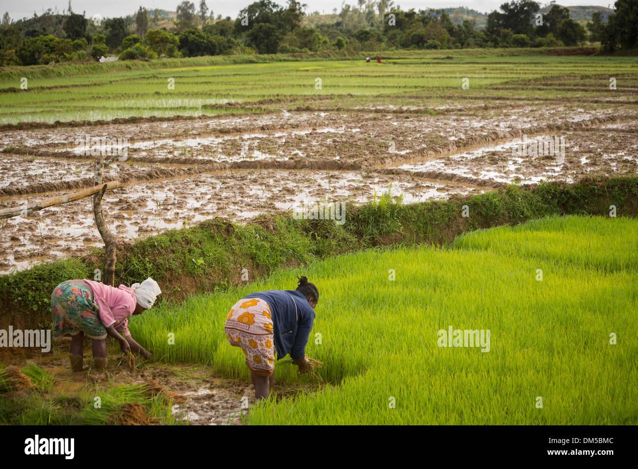 Los agricultores de arroz de trasplante tallos en Vatomandry distrito rural, Madagascar. Foto de stock