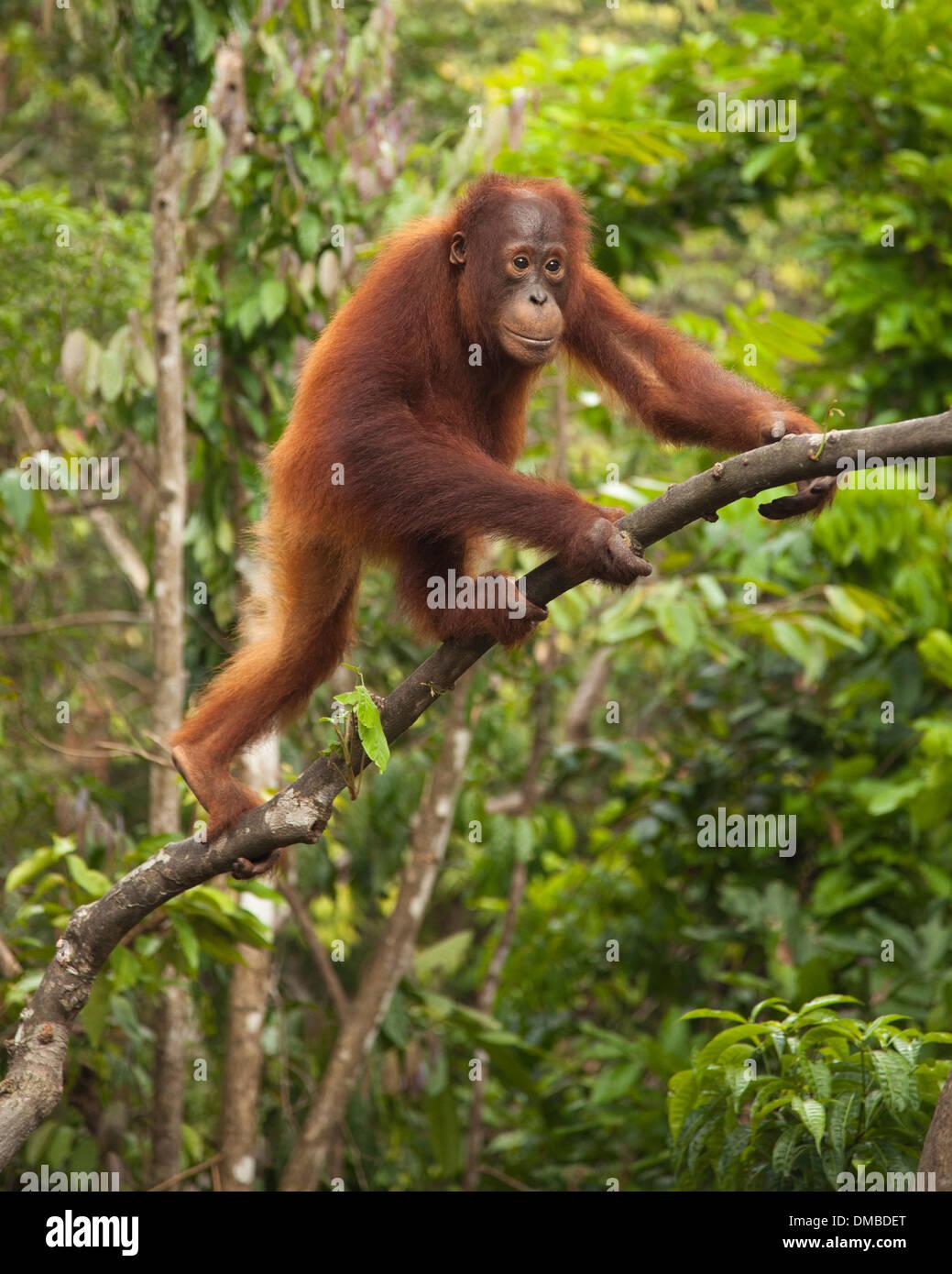 Joven orangután salvaje (Pongo pygmaeus) árbol de escalada en Camp Leakey Imagen De Stock