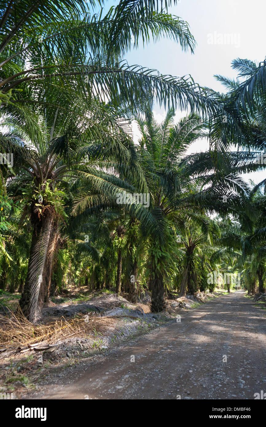 Las plantaciones de palmera africana en Costa Rica. Nativo de África Occidental, Elaeis guineensis fue plantado en 1940 por la United Fruit Co. Imagen De Stock