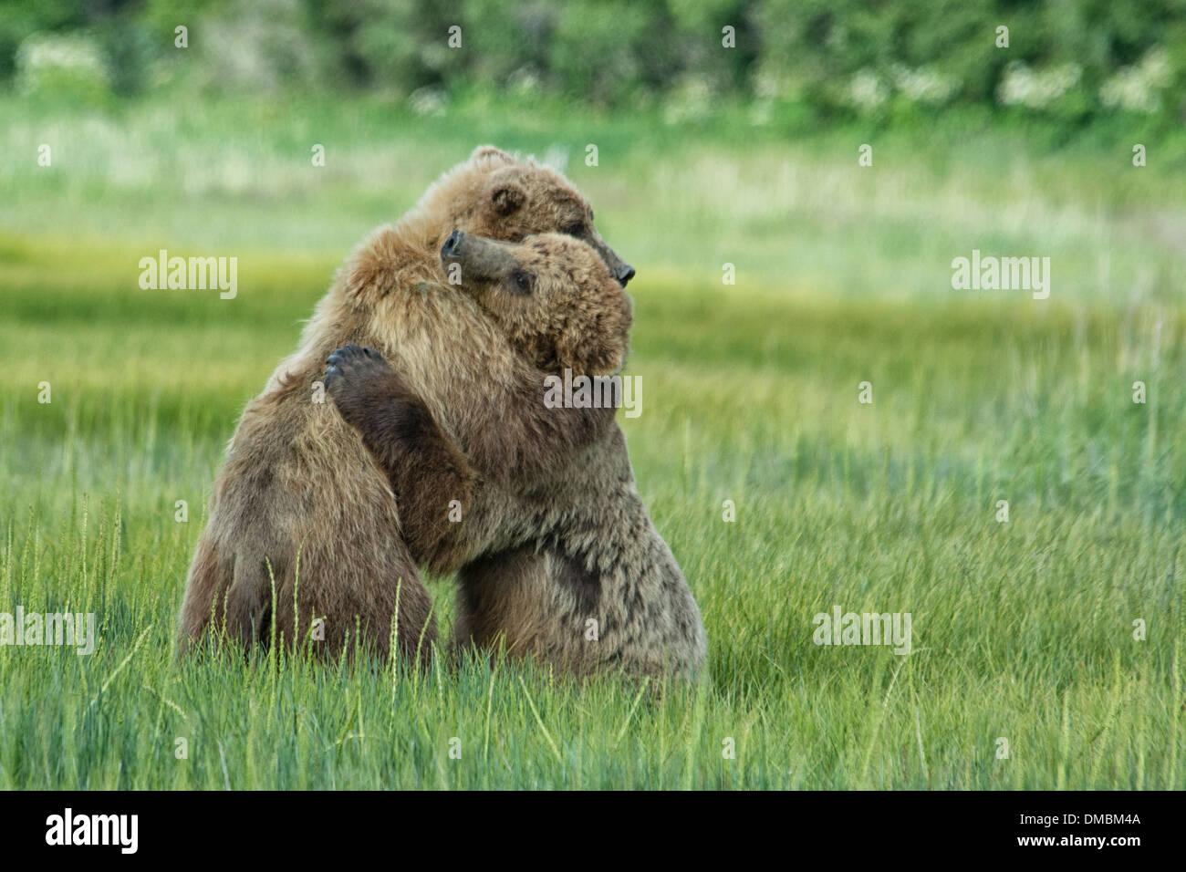 Grizzly Bear Yearling Cubs, osos pardos de Alaska, Ursus arctos, abrazarse durante un episodio de jugar combates, Lake Clark National Park, Alaska, EE.UU. Foto de stock
