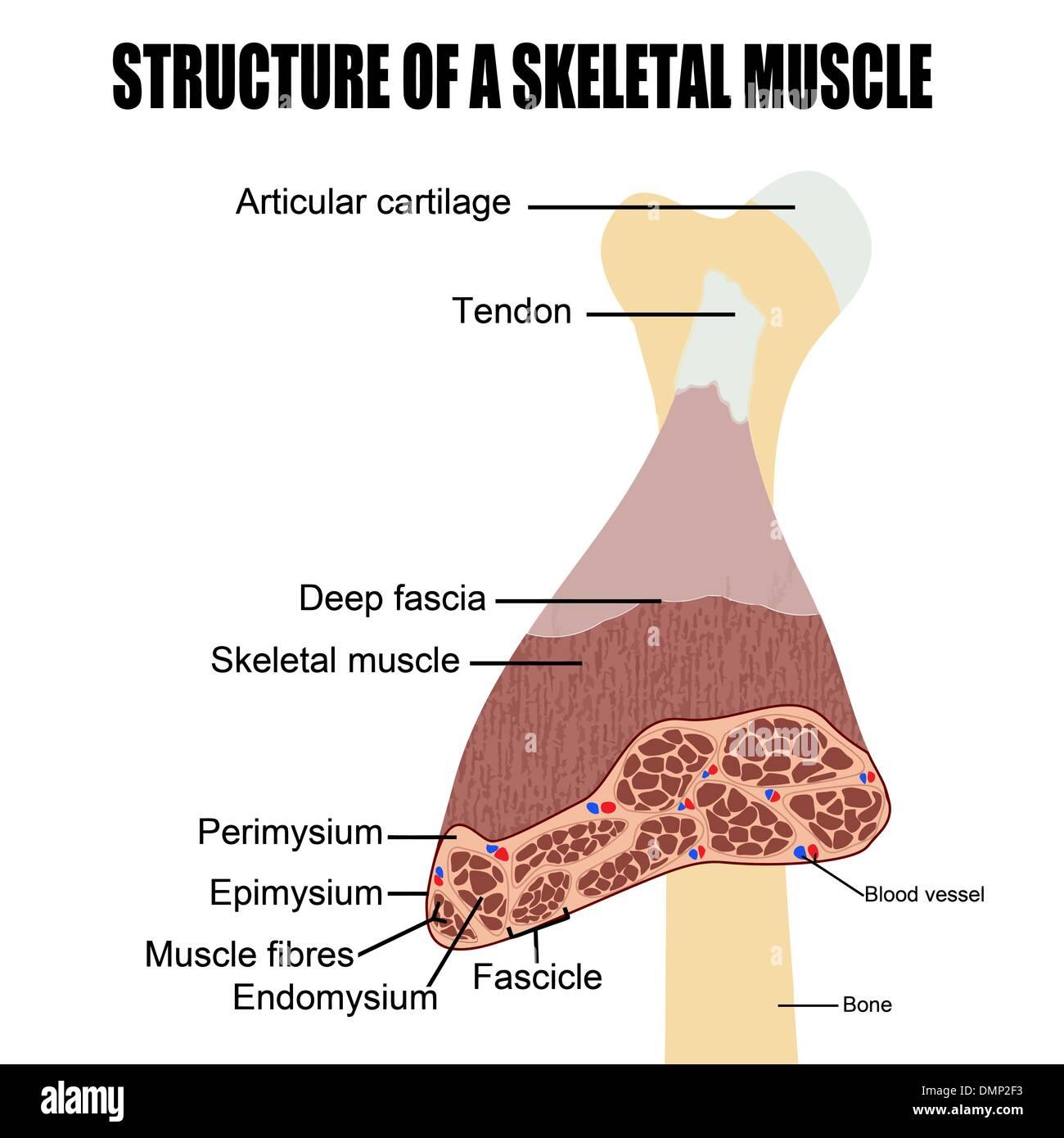 Estructura de un músculo esquelético Imagen De Stock