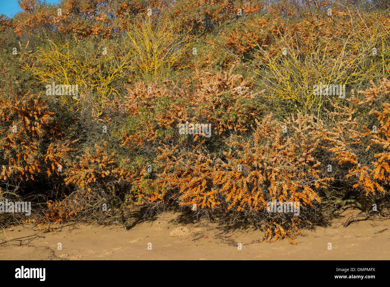 Dunas costeras cubiertas de matorrales de espino cerval de mar, (Hippophae) mostrando bayas maduras. Foto de stock
