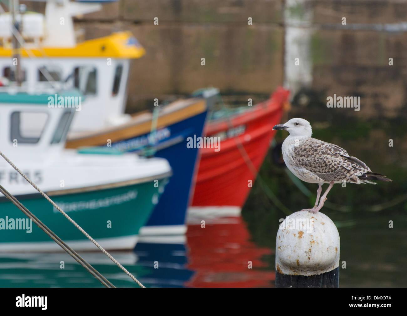 Seagull coloridos cascos de barcos fraserburgh harbour Imagen De Stock