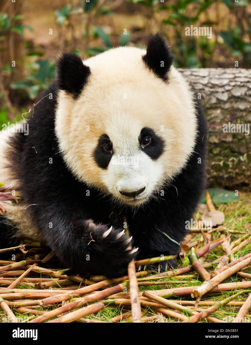 El panda gigante Ailuropoda melanoleuca, centro de investigación y crianza de Panda Chengdu, China, República Popular de China, Asia Imagen De Stock