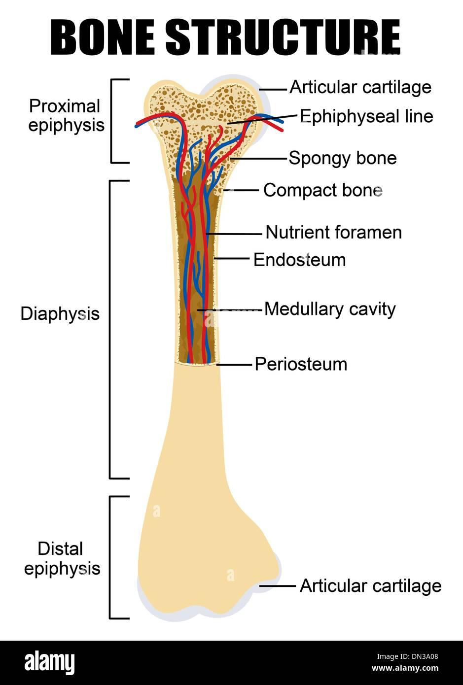 Diagrama de la anatomía del hueso humano Ilustración del Vector ...