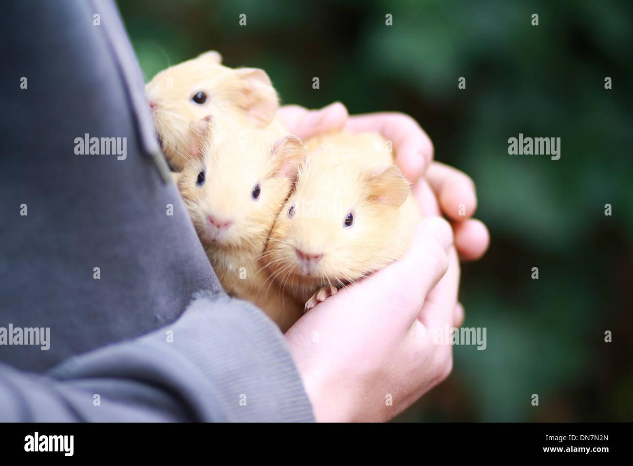Niña la celebración de conejillo de indias en sus brazos Imagen De Stock
