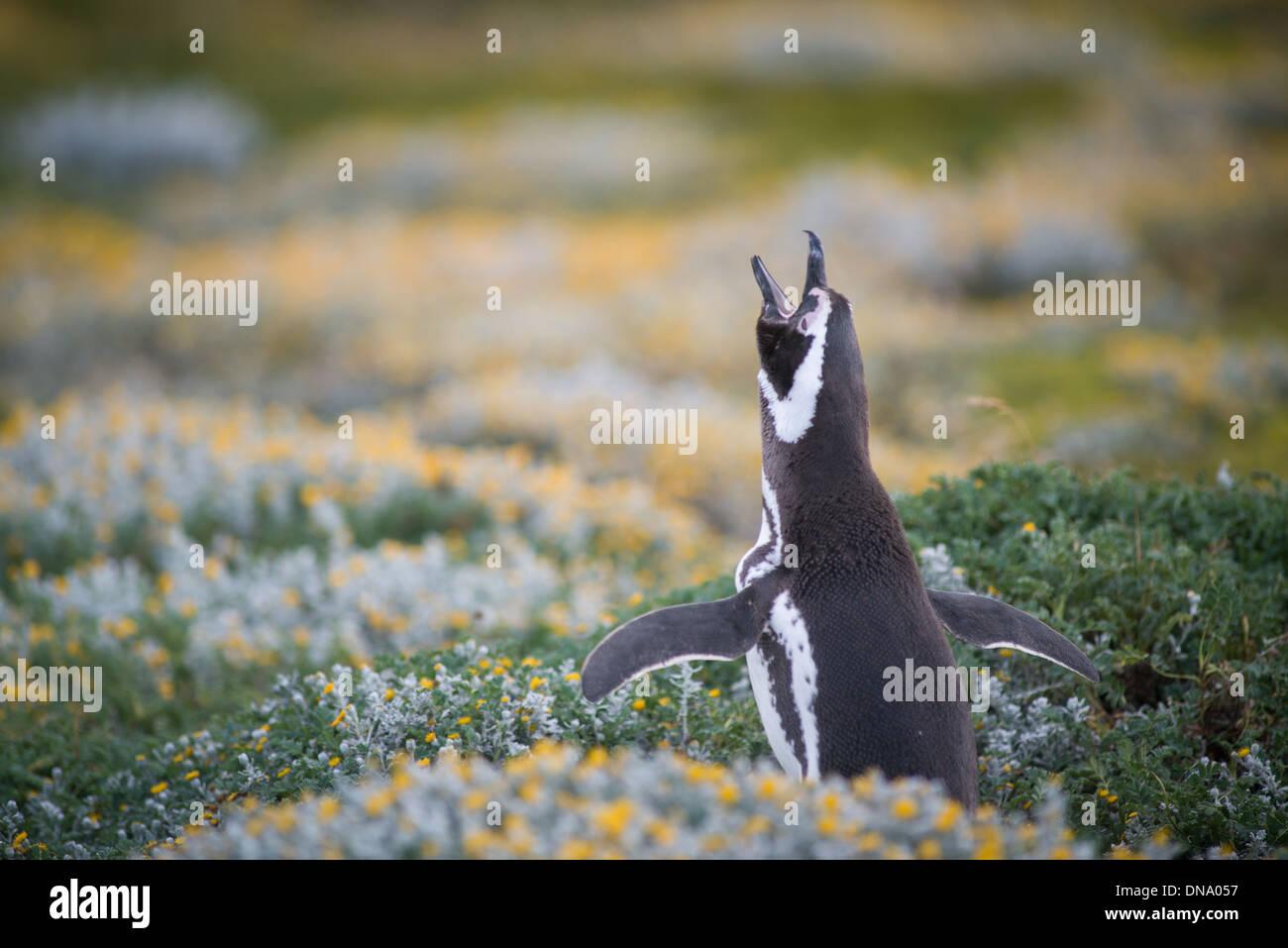 Pingüinos Magellean, Seno Otway pingüinera Punta Arenas Chile Imagen De Stock