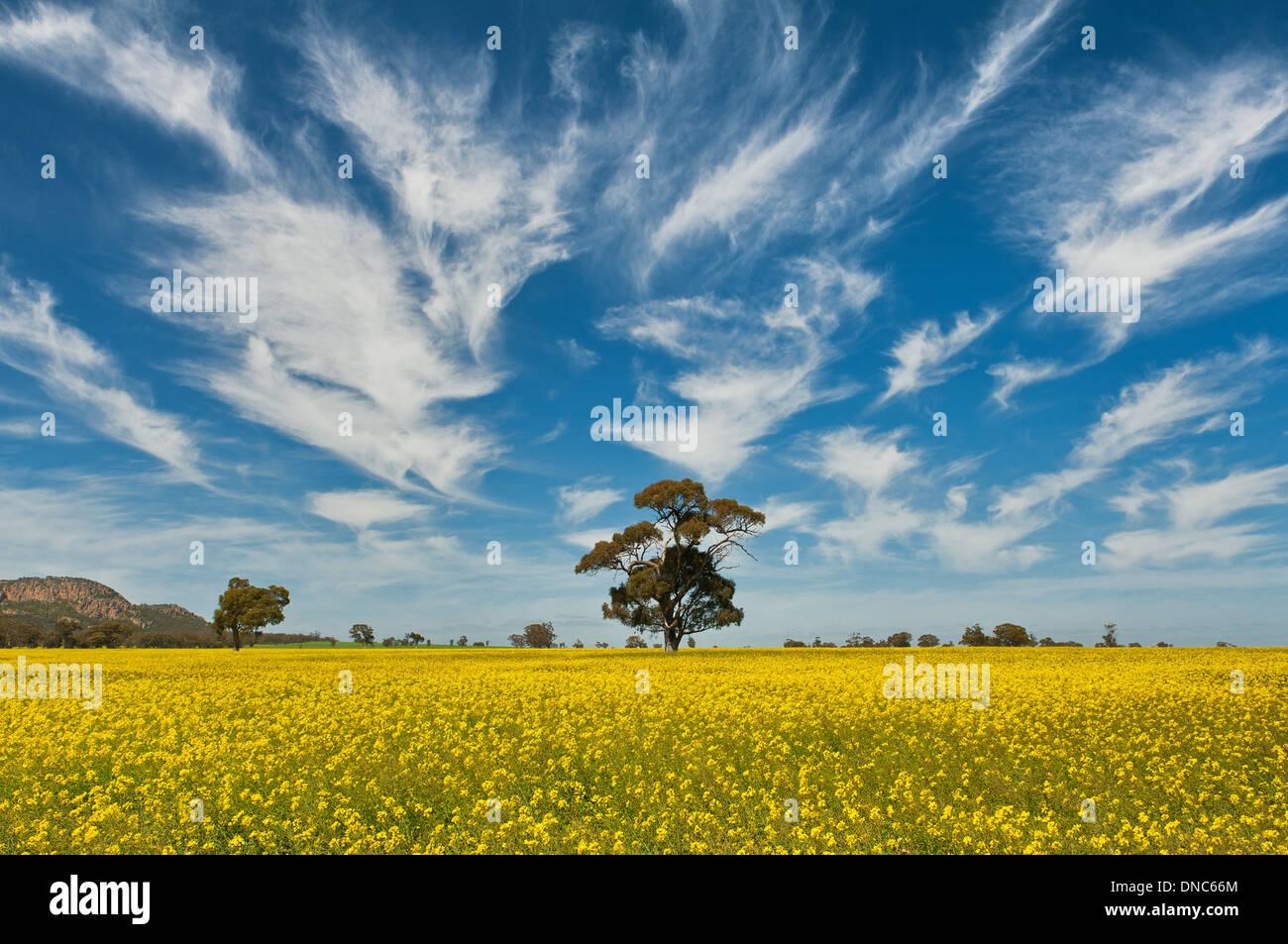 En el campo de la canola Wimmera. Imagen De Stock