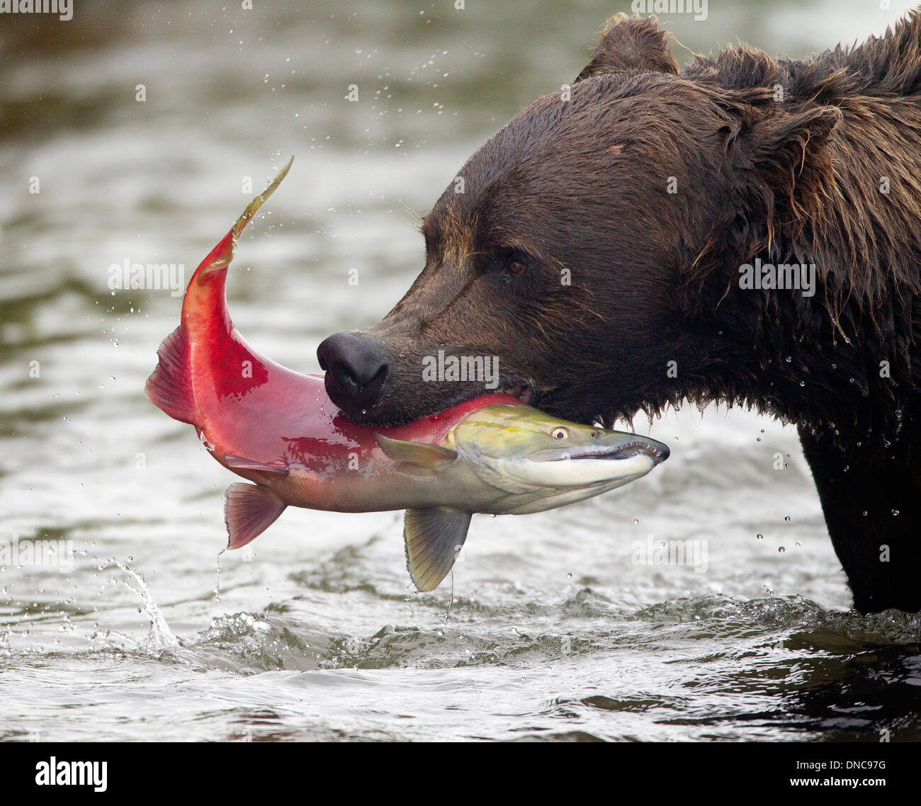 Oso Pardo de Alaska pescando salmones Imagen De Stock