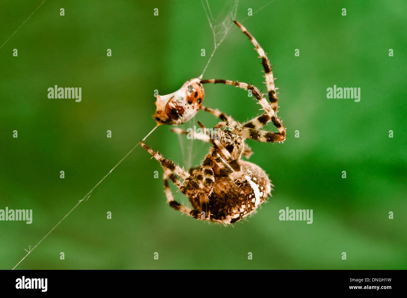 Un Orb spider eyacula veneno y atrapa una mariquita enwrapping su víctima en hilos de seda. (Close Up / Lente macro View ). 2 de 5 Imagen De Stock