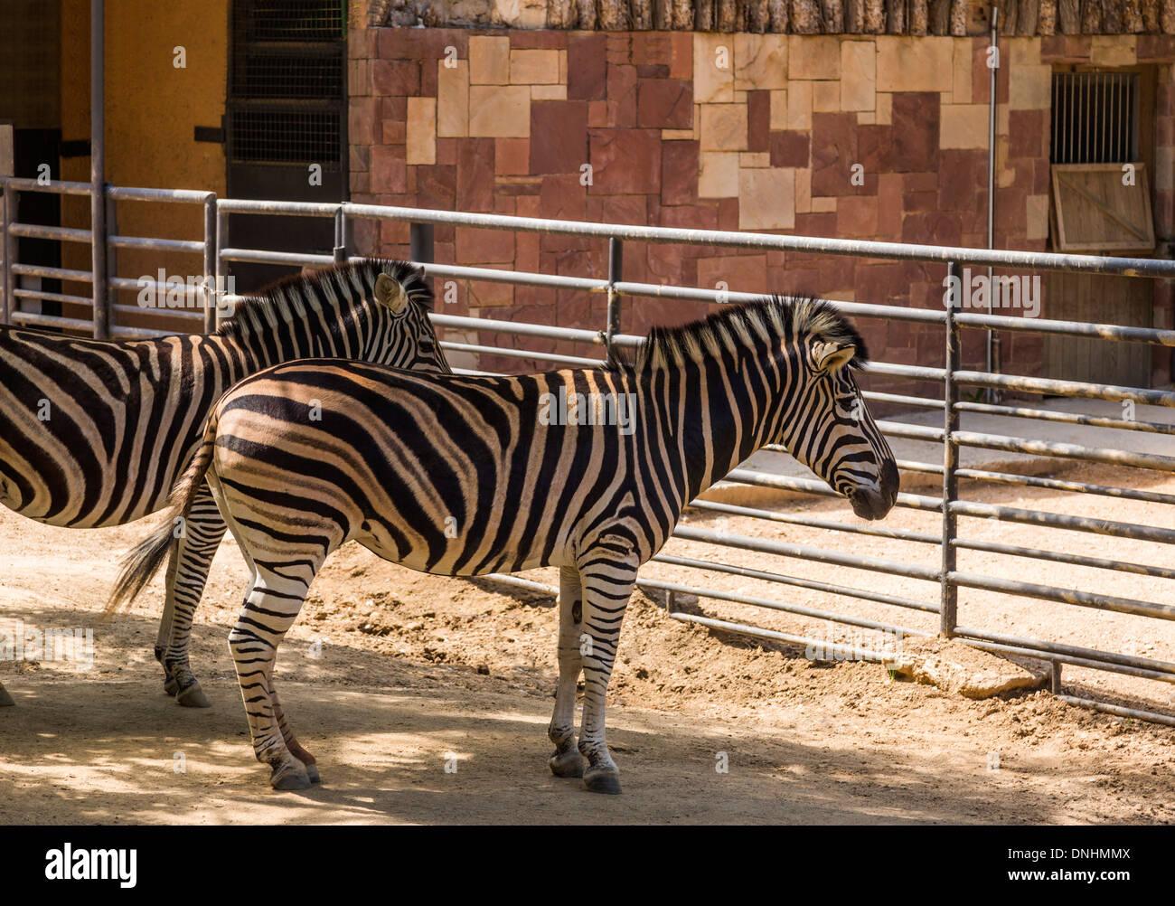 Cebras de Chapman (Equus quagga chapmani) en un zoo, el Zoo de Barcelona, Barcelona, Cataluña, España Foto de stock
