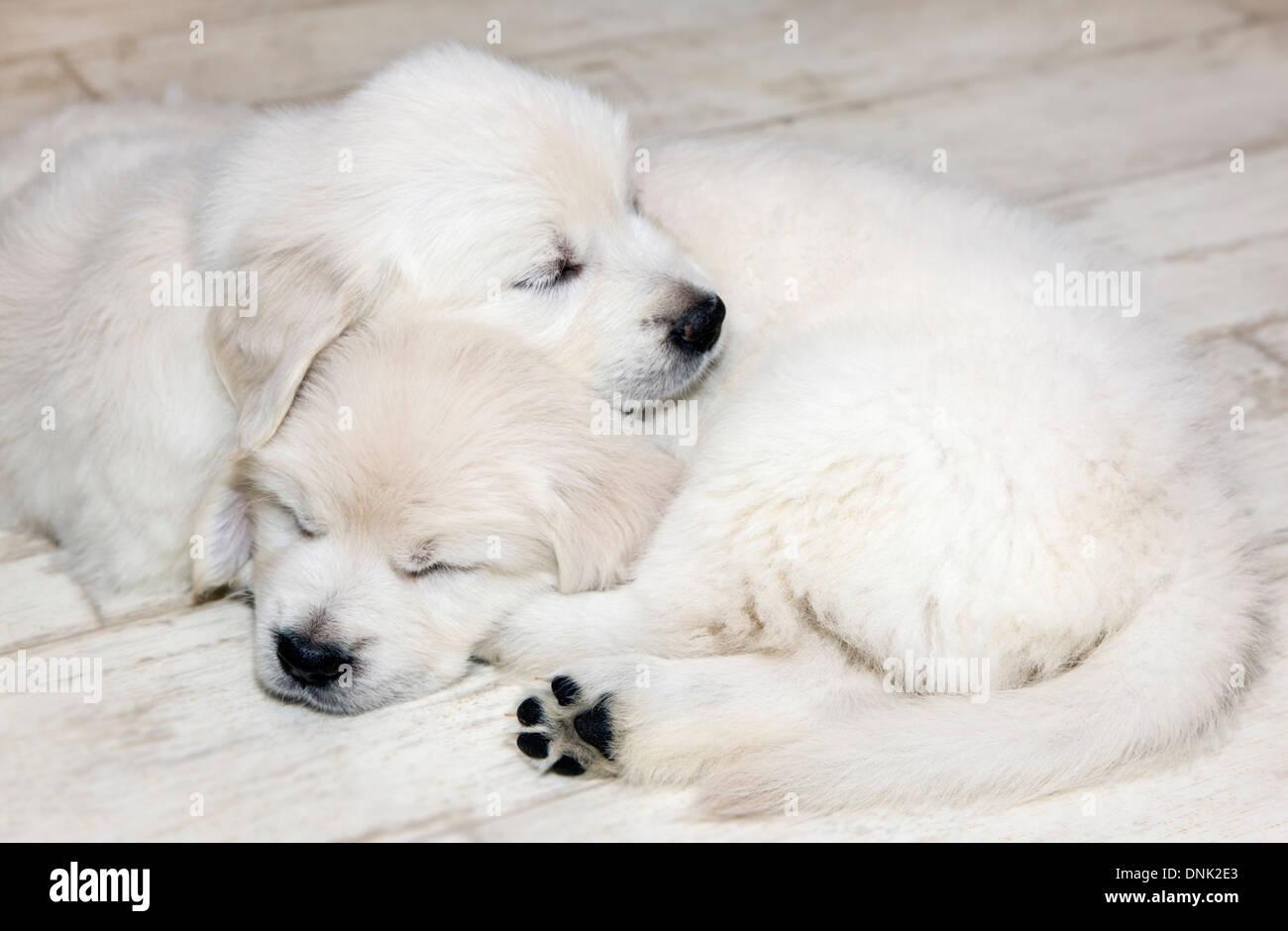 Cachorros de Golden retriever de color platino (6 semanas) Imagen De Stock