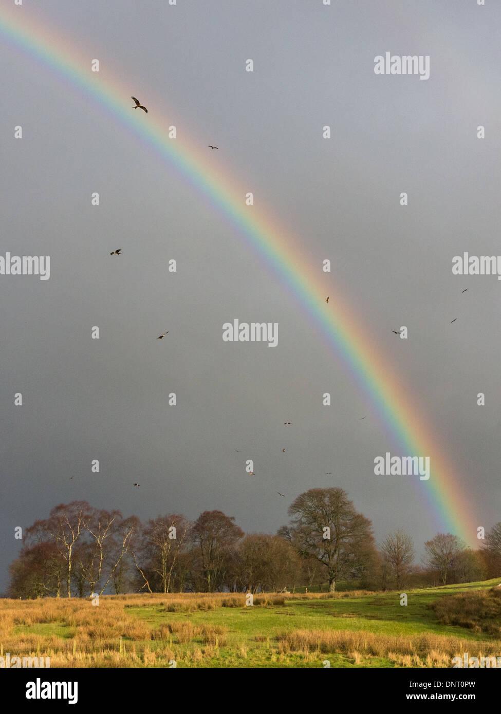 Milano real (Milvus milvus) vuela a través de una vívida rainbow en red kite Estación de alimentación en Rhayader, Mid Wales, REINO UNIDO Foto de stock