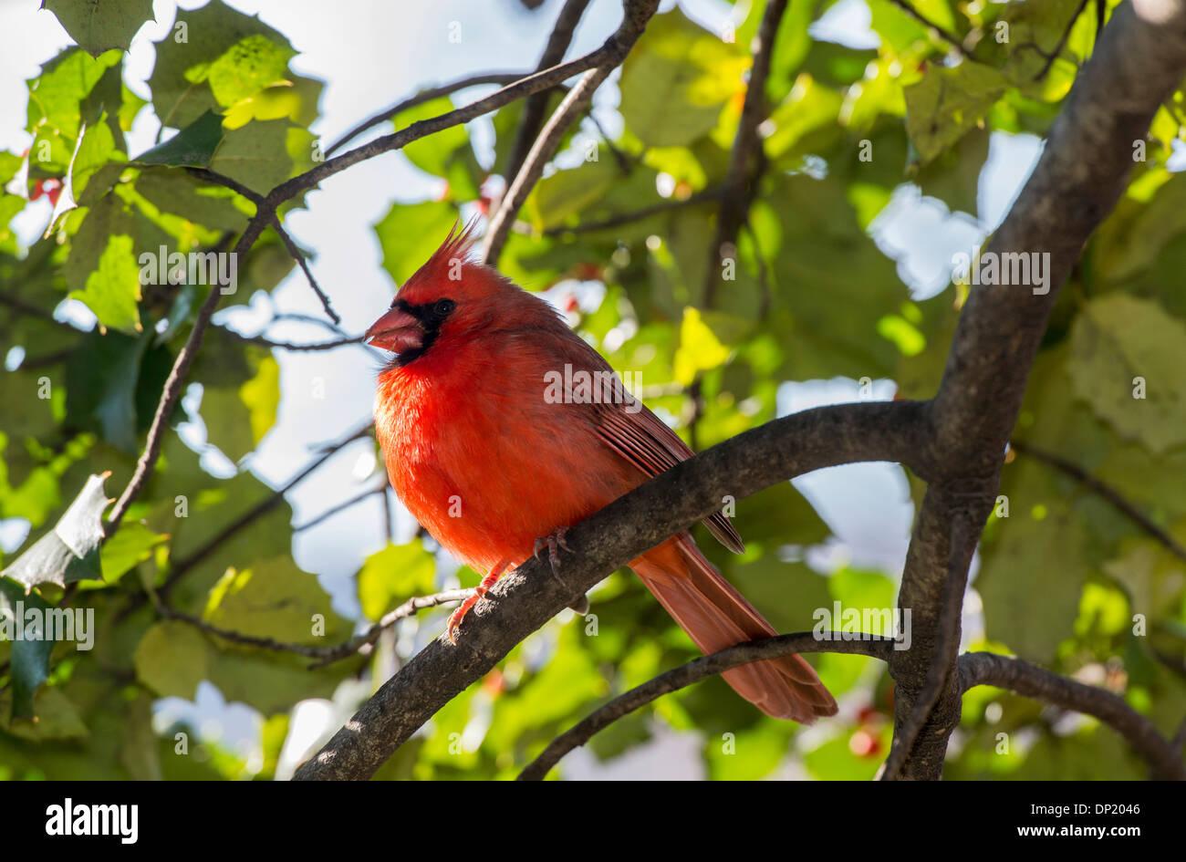 Cardenal norteño (Cardinalis cardinalis), Central Park, New York City, New York, EE.UU. Foto de stock