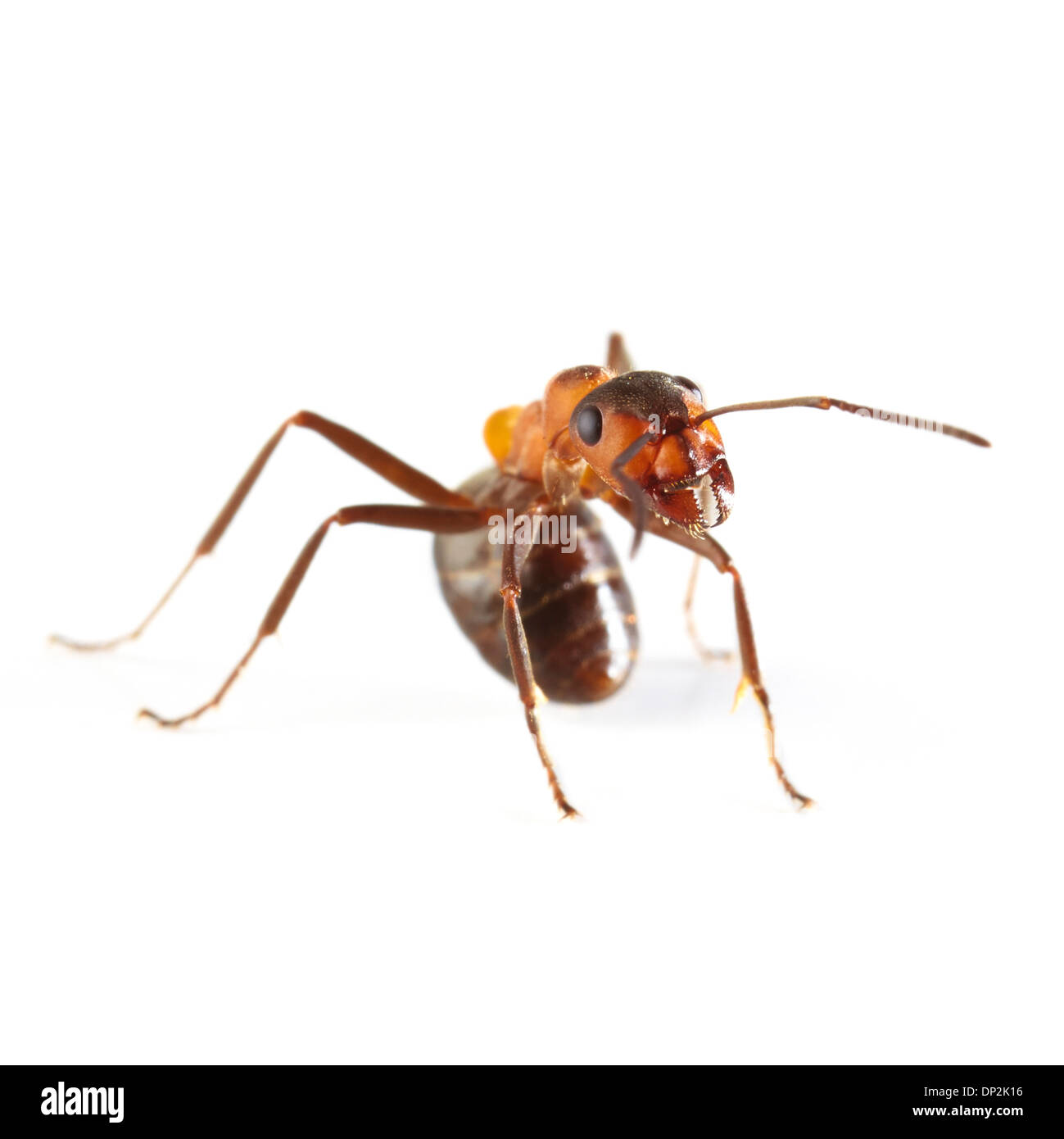 Hormiga de madera Imagen De Stock