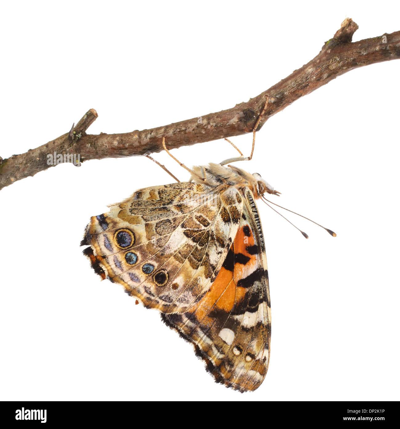 Painted Lady butterfly Imagen De Stock