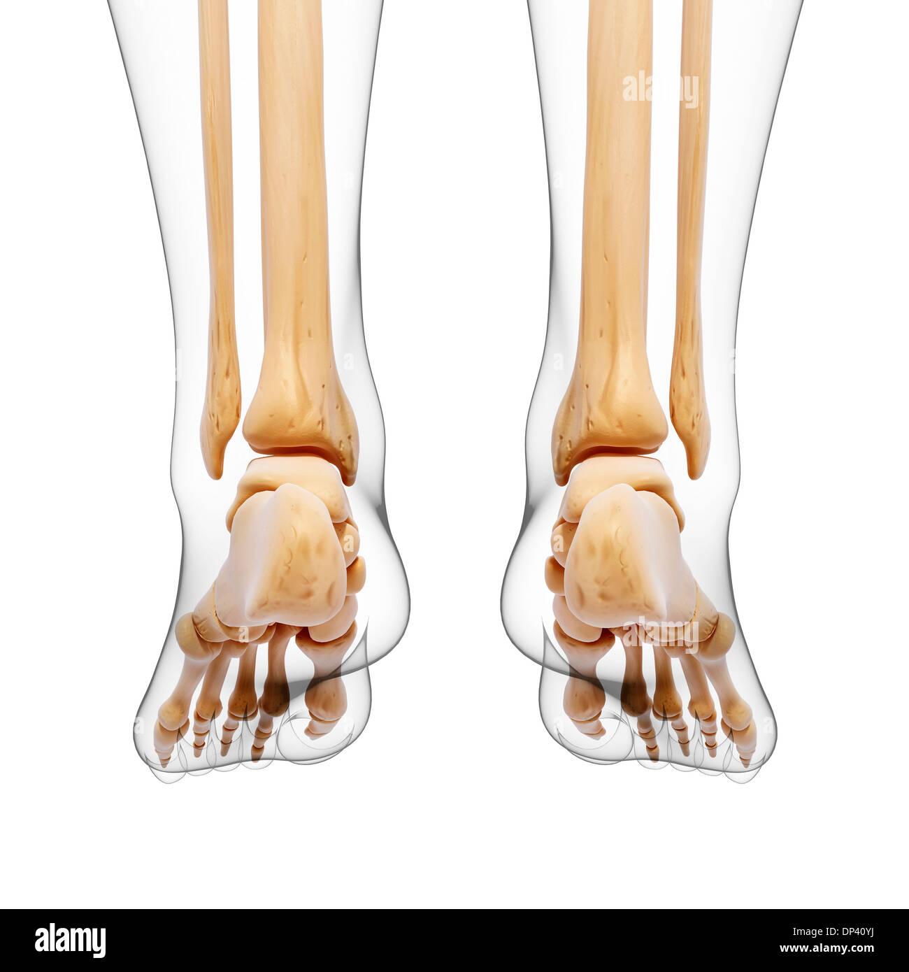 Los huesos de la pierna humana, obras de arte Foto & Imagen De Stock ...