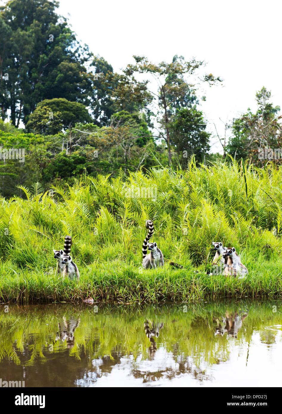 Cola de anillo lémures en Madagascar. Imagen De Stock