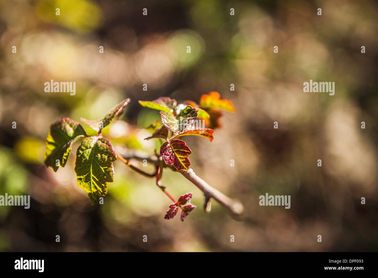 Las nuevas hojas en la rama, cerrar Imagen De Stock