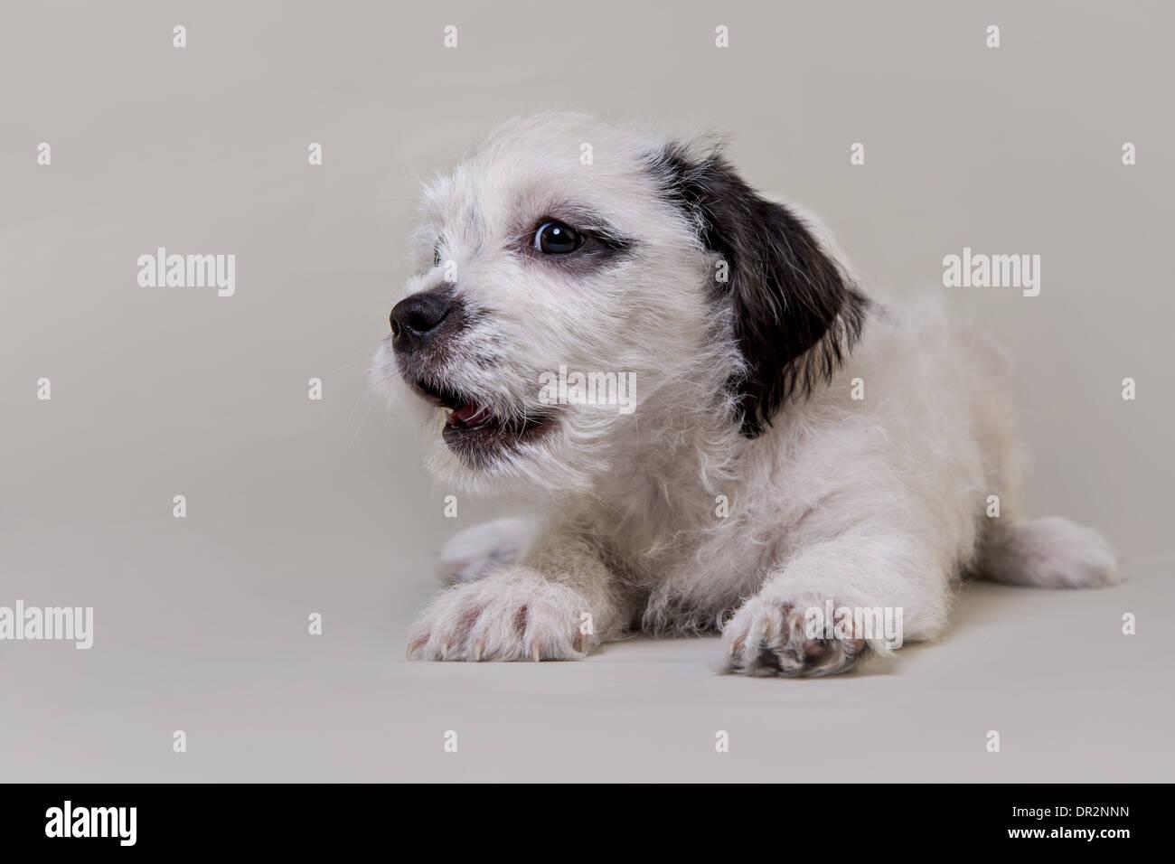Cachorro feliz sonriendo en gris claro studio como telón de fondo. Imagen De Stock