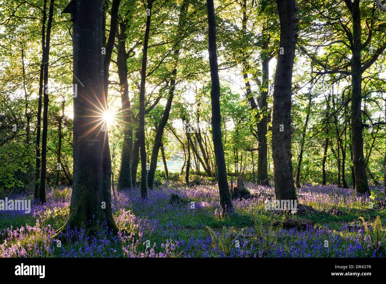 Sun estallando a través de los árboles que proyectan su sombra sobre una alfombra de campanillas Imagen De Stock