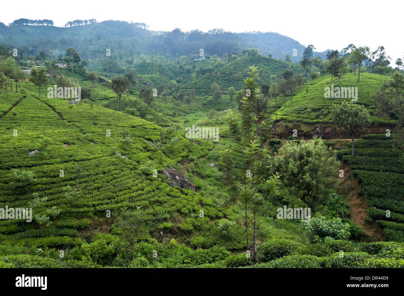 Haputale, plantaciones de té en Sri Lanka Imagen De Stock